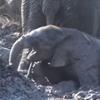 слонёнок застрял в грязи