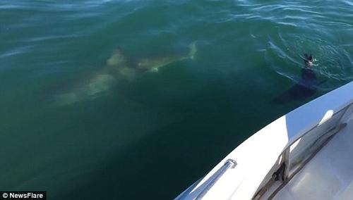 тюлень погнался за акулой