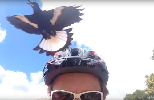 сорока враждует с велосипедистом