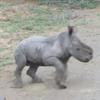 носорог против автомобилей