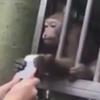 обезьяна позарилась на телефон