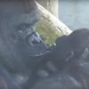 горилла нежно любит детёныша