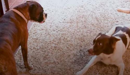 собака заходит за соседкой