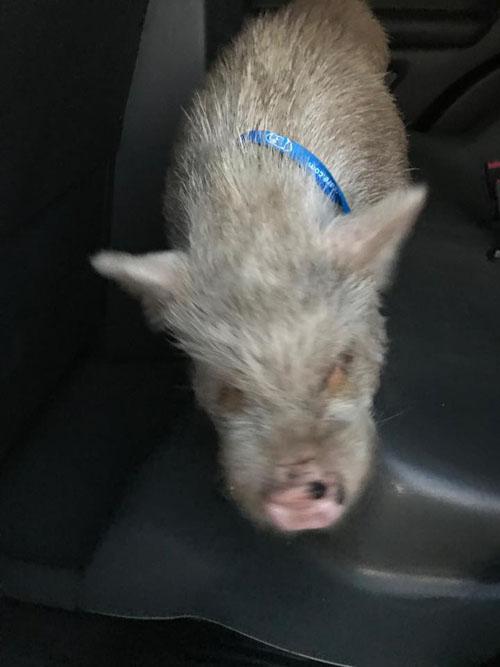 свиньи временно живут в полиции