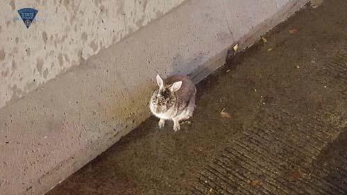 полицейские ловили кролика