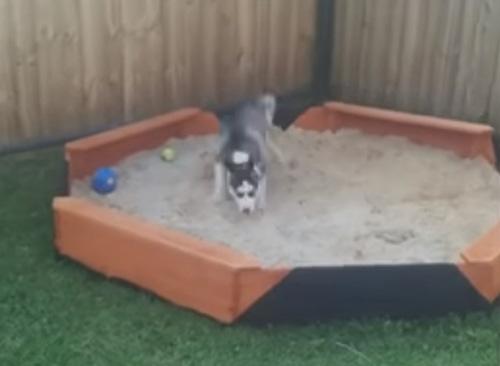 песочница для щенка хаски