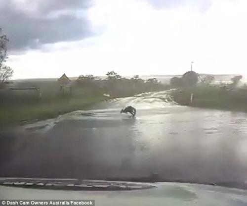 кенгуру на мокром асфальте