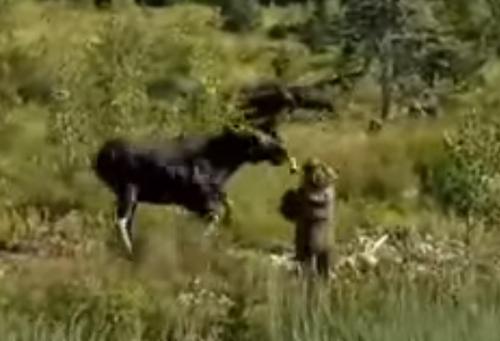 лось напал на женщину с собакой
