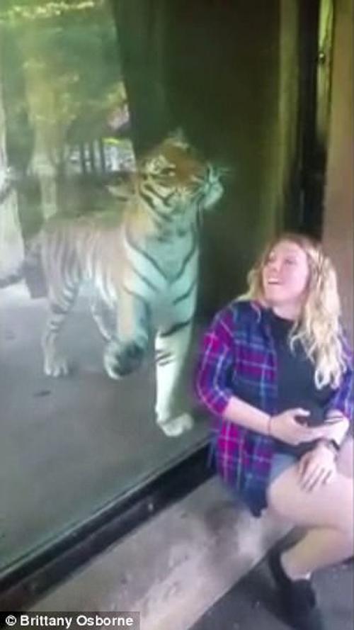 тигр и беременная женщина