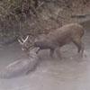 олени сцепились рогами