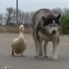 пёс подружился с уткой