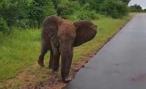 слонёнок хотел напугать людей