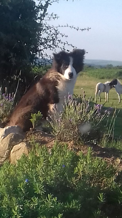 щенок загнал овец в дом