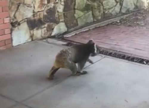 коала явилась в продающийся дом
