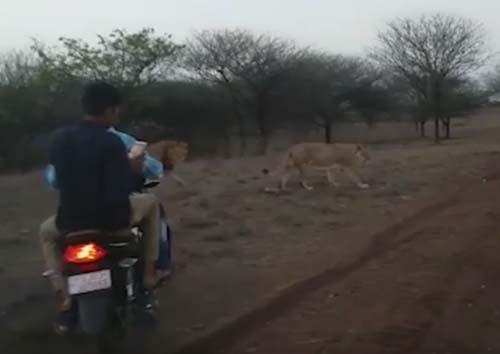 байкеры преследовали львов