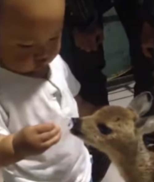 мальчик подружился с косулей