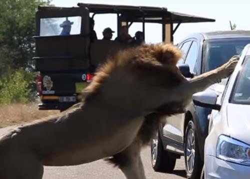 лев напал на автомобиль