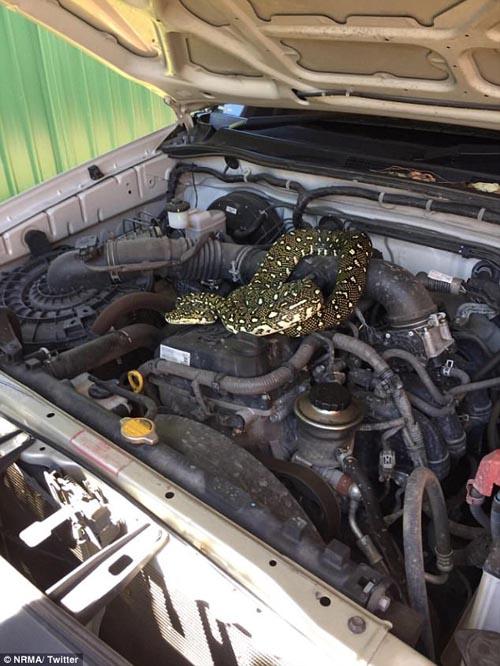 питон в двигателе автомобиля