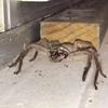 видео с умывающимся пауком