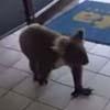 коала явилась в магазин