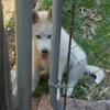 щенок пролез в узкую щель ворот
