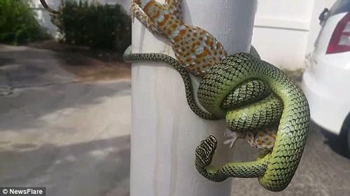 схватка змеи и геккона