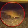 крыса вызвала панику в метро