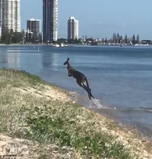 кенгуру насладился купанием