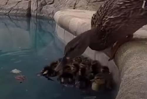 мужчина помог утятам в бассейне
