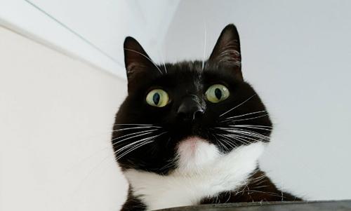 вечно изумлённая кошка