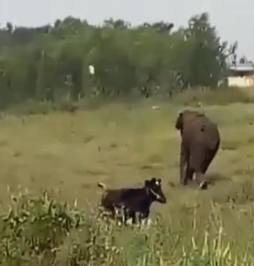слон напал на стадо коров