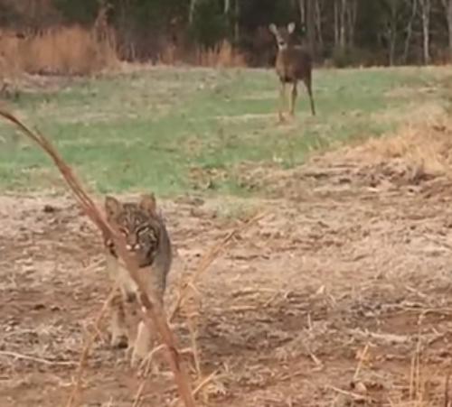 рысь испугалась охотника