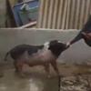 свинья стянула с хозяина шорты