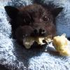летучая лисица любит бананы