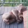 коалы отдыхают на крыльце