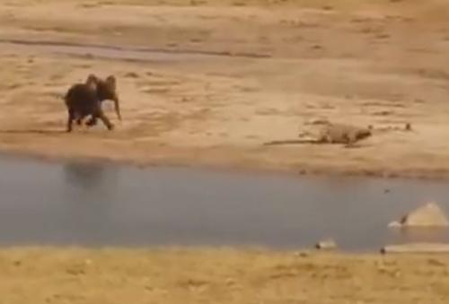 слонёнок прогнал крокодилов