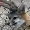 лиса застряла в заборе