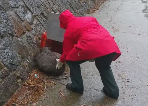 вомбата спасли из ливневого стока