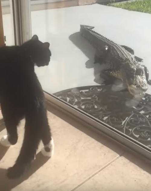аллигатор не получил на обед кошку