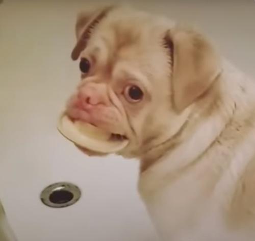 пёс с нарушением пигментации