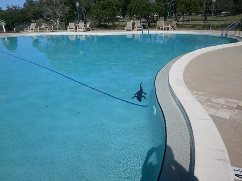 аллигатора убрали из бассейна
