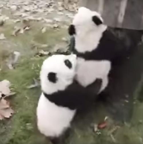две маленькие панды и дерево