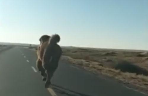 верблюд бежал перед автомобилем
