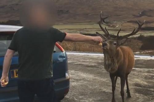 олень рогами толкнул мужчину