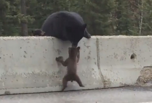 медведица спасла медвежонка