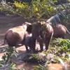 слонёнка спасли из ямы