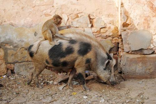 обезьяна прокатилась на свинье