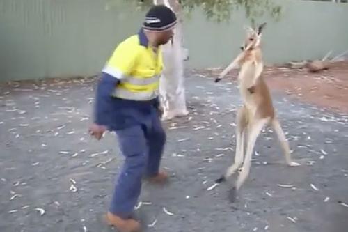 драка строителя и кенгуру
