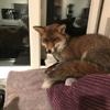 лиса захватила кошачью лежанку