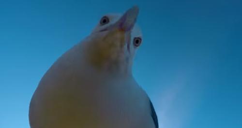 чайка украла видеокамеру